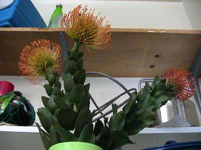 Proteas - obtained from Ivar Farmers' Market resided in Hollymont